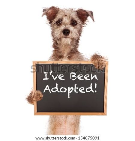 A cute Cairn Terrier mixed breed dog holding a chalk board sign announcing that he has been adopted  - stock photo