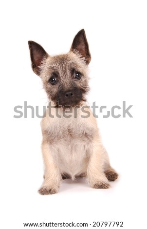 A cute Cairn Terrier puppy looking at you. - stock photo