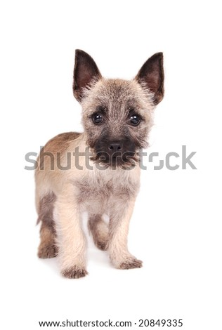 A cute Cairn Terrier puppy standing. - stock photo