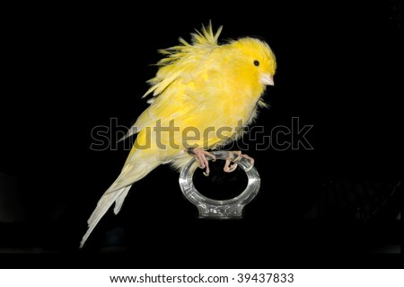 A cute canary over black background. - stock photo