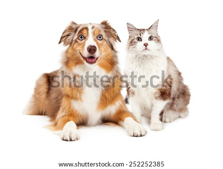 A cute cat and happy Australian Shepherd dog, sitting together - stock photo