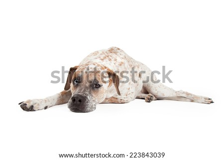 A cute Cattle Dog, Boxer and Pointer mixed breed dog laying down and looking forward - stock photo