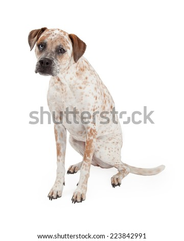 A cute Cattle Dog, Boxer and Pointer mixed breed dog sitting to the side and looking forward - stock photo