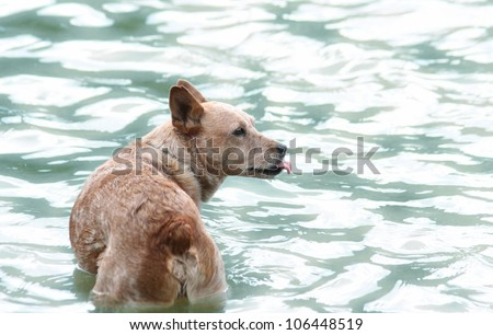 a cute cattle dog enjoying the outdoors in the water - stock photo