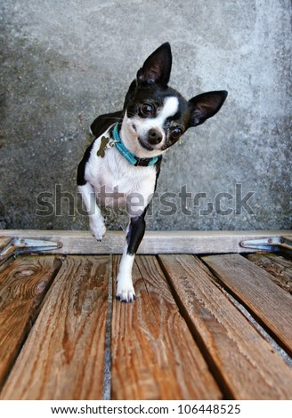 a cute chihuahua begging to be picked up - stock photo