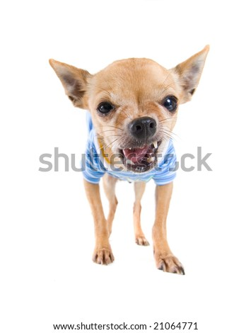 a cute chihuahua dressed up in clothes - stock photo