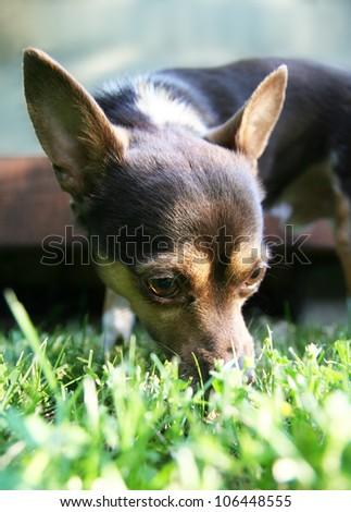 a cute chihuahua enjoying the outdoors - stock photo