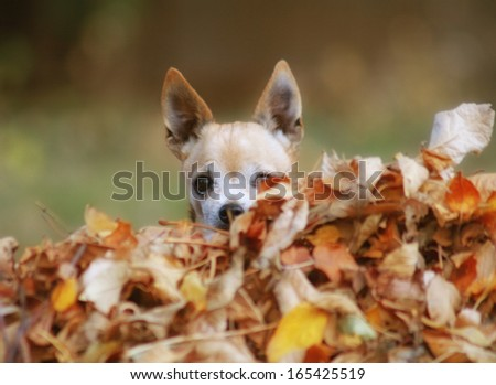 a cute chihuahua in a pile of leaves - stock photo