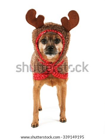 a cute chihuahua in a reindeer costume for use in christmas themes  - stock photo