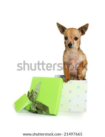 a cute chihuahua in a small box - stock photo