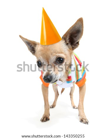 a cute chihuahua in a tiny shirt with a birthday hat on - stock photo