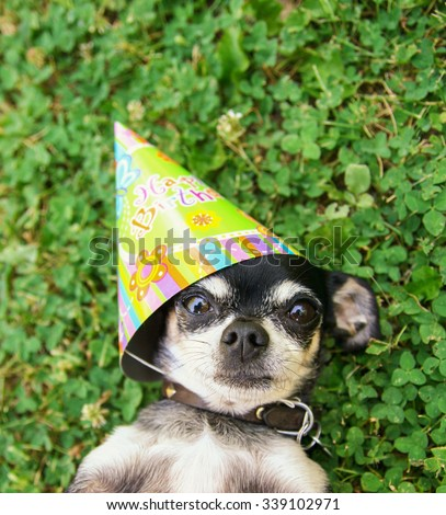 a cute chihuahua in green clover and grass with a birthday hat one looking wide eyed - stock photo