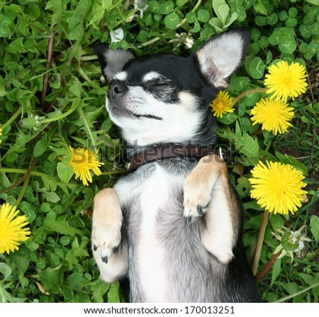 a cute chihuahua in the grass - stock photo