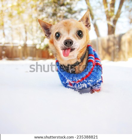 a cute chihuahua in the snow wearing a knitted sweater on a cold winter day - stock photo