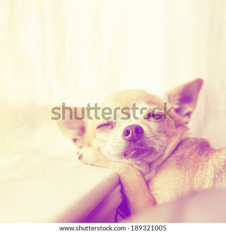 a cute chihuahua laying in the sunshine on a window sill done with a retro vintage instagram filter - stock photo