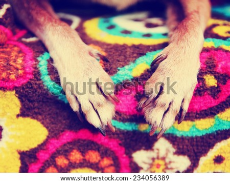 a cute chihuahua laying on a blanket with his paws in front toned with a retro vintage instagram filter - stock photo