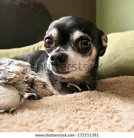 a cute chihuahua laying on a pet bed with a stuffed toy - stock photo