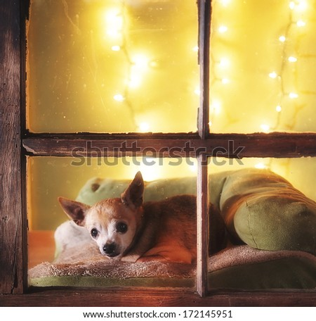 a cute chihuahua looking out a dirty weathered old window - stock photo