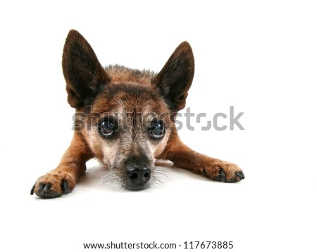a cute chihuahua looking up - stock photo