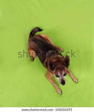 a cute chihuahua lying on a blanket - stock photo