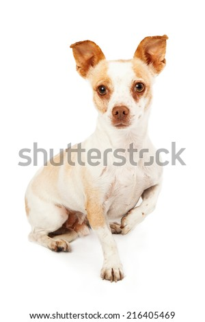 A cute Chihuahua Mix Dog sitting and looking forward with one paw up