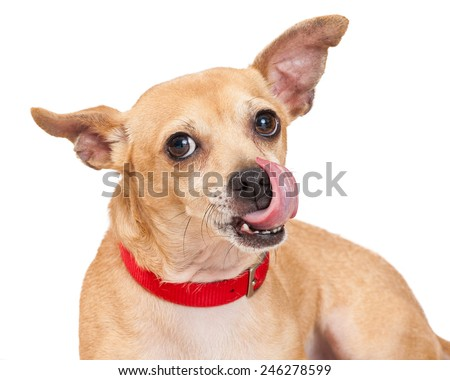 A cute Chihuahua mixed breed dog wearing a red collar with tongue out licking lips