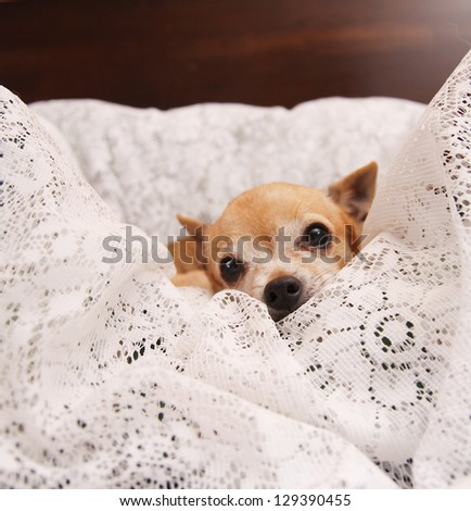 a cute  chihuahua on a blanket - stock photo