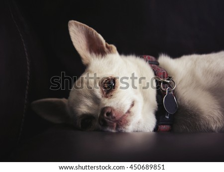 a cute chihuahua on a couch in natural sunlight with shallow depth of field  - stock photo