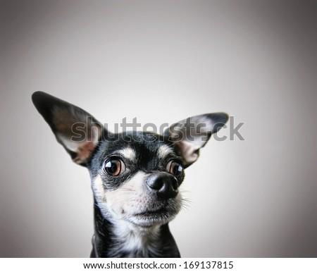 a cute chihuahua on a gray background - stock photo