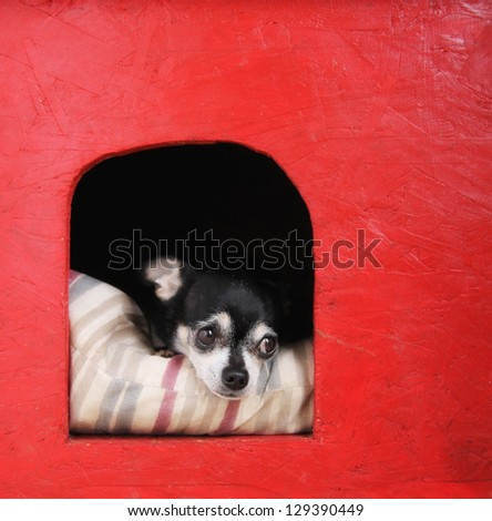 a cute  chihuahua on a pillow in a doghouse - stock photo
