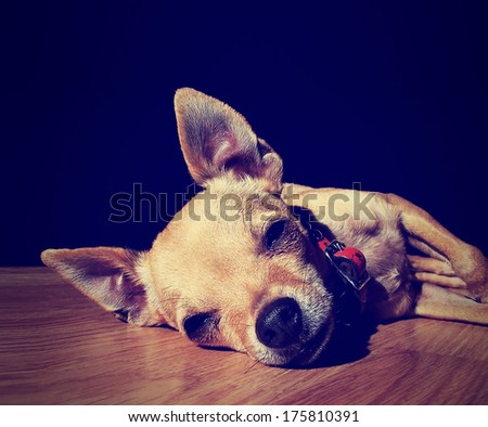 a cute chihuahua on a wooden floor done with a vintage retro ins - stock photo