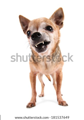 a cute chihuahua on an isolated white background studio shot - stock photo