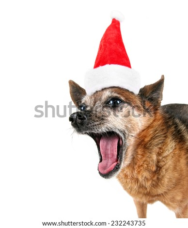 a cute chihuahua panting with his tongue out on a white background with a santa hat on for christmas - stock photo