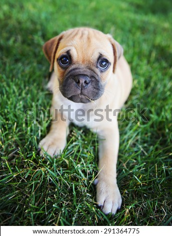 a cute chihuahua pug mix puppy (chug) looking at the camera with with grass in his mouth in a backyard during summer (SHALLOW DOF - on mouth)