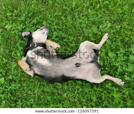 a cute chihuahua rolling in the grass - stock photo