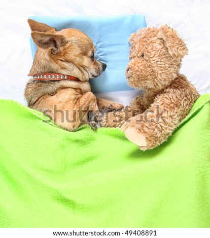 a cute chihuahua sleeping next to a teddy bear - stock photo