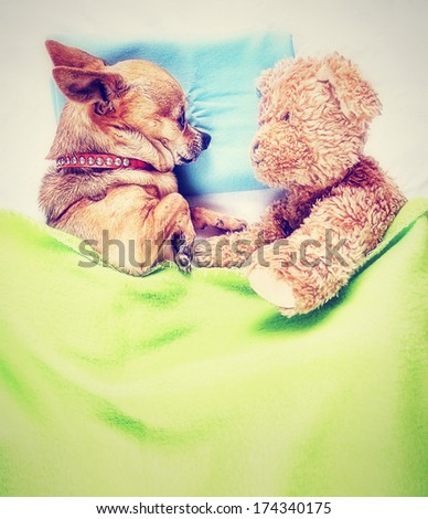 a cute chihuahua sleeping next to a teddy bear done with a vintage retro instagram filter - stock photo
