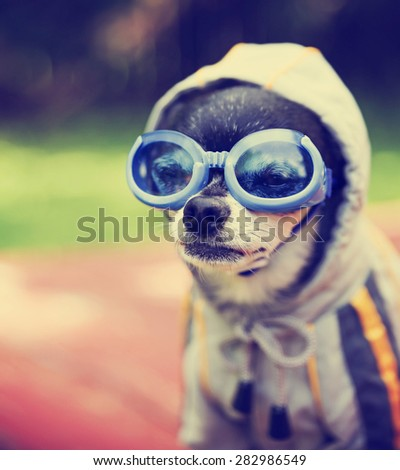 a cute chihuahua wearing goggles and a jacket sitting outside during summer time toned with a retro vintage instagram filter