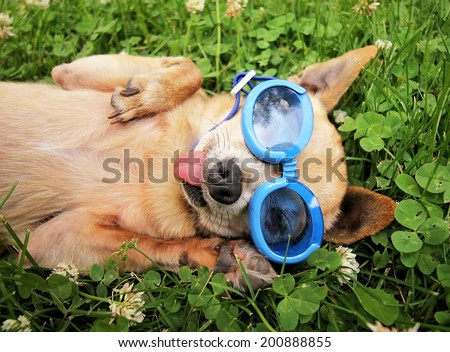 a cute chihuahua wearing goggles in the grass with his tongue out - stock photo