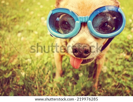 a cute chihuahua wearing goggles in the grass with his tongue out toned with a retro vintage instagram filter effect (focus on the eyes inside the goggles) - stock photo