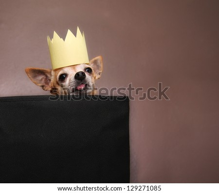 a cute chihuahua with a crown on - stock photo