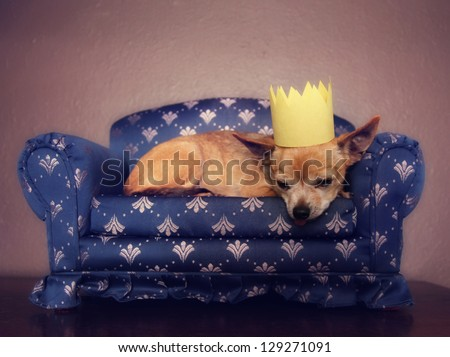 a cute chihuahua with a crown on napping on a couch - stock photo