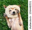 a cute chihuahua with a slice of bread on his head - stock photo