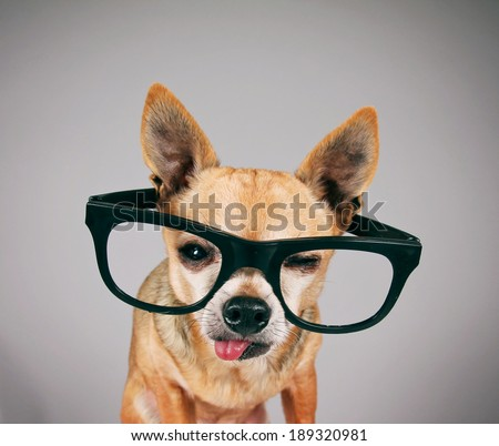 a cute chihuahua with black school glasses on with his tongue poking out - stock photo