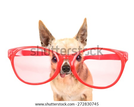 a cute chihuahua with giant pink and red sunglasses on isolated on a white background studio shot - stock photo