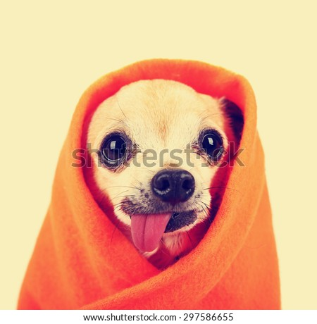 a cute chihuahua with his tongue hanging out and a blanket wrapped around him isolated on a while background in the studio toned with a retro vintage instagram filter effect app or action - stock photo