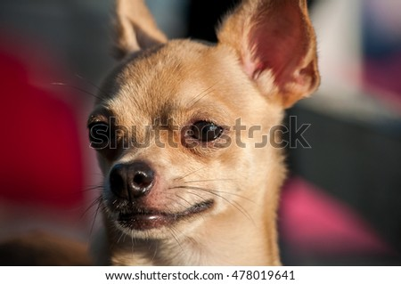 a cute chihuahua with his tongue hanging out (shallow DOF)