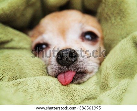 a cute chihuahua wrapped in a blanket with his tongue sticking out after waking from a nap  - stock photo