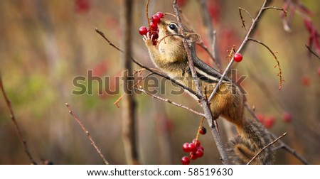 A cute chipmunk perched on a branch is reaching for red wild berries - stock photo