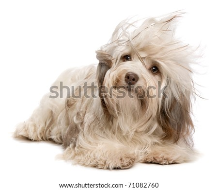 A cute chocolate havanese puppy dog lying in wind isolated on white background - stock photo